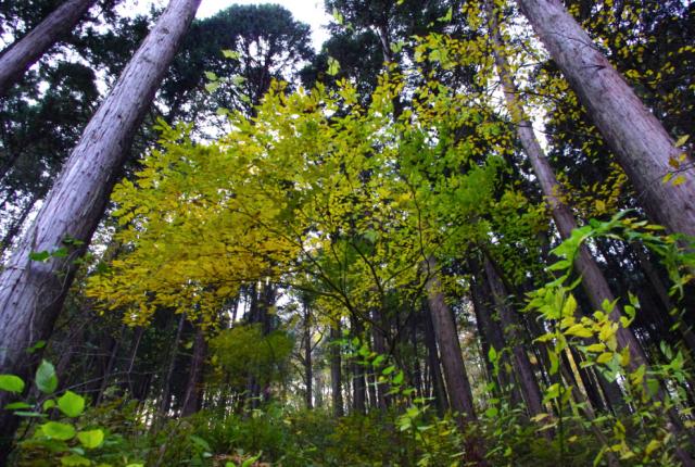 針葉樹と落葉樹のコラボ