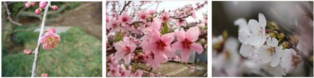 ウメモモサクラ花の写真
