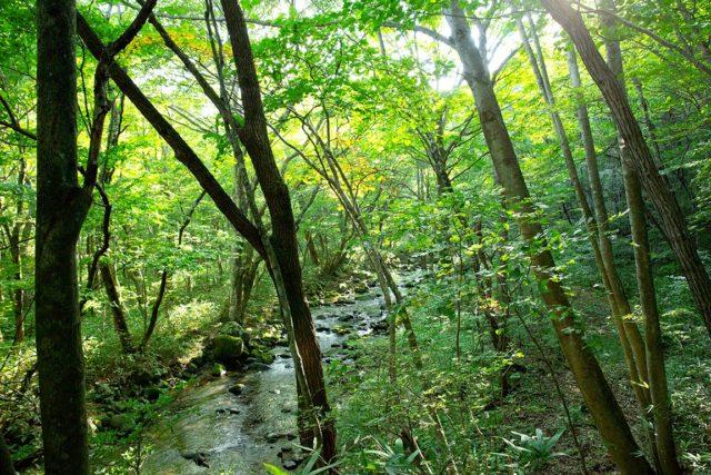 川の近くにはミズナラやミズキなど、水を好む落葉広葉樹が多い