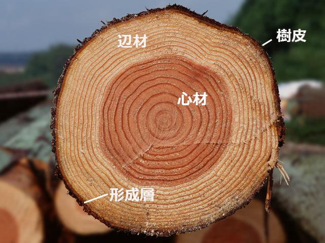 木の断面。中心は心材、中心から外側に向かって辺材、一番端に形成層、その外側に樹皮