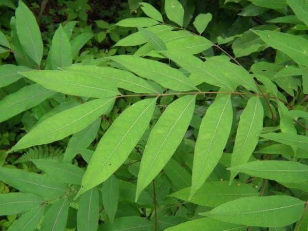 ムクロジの葉